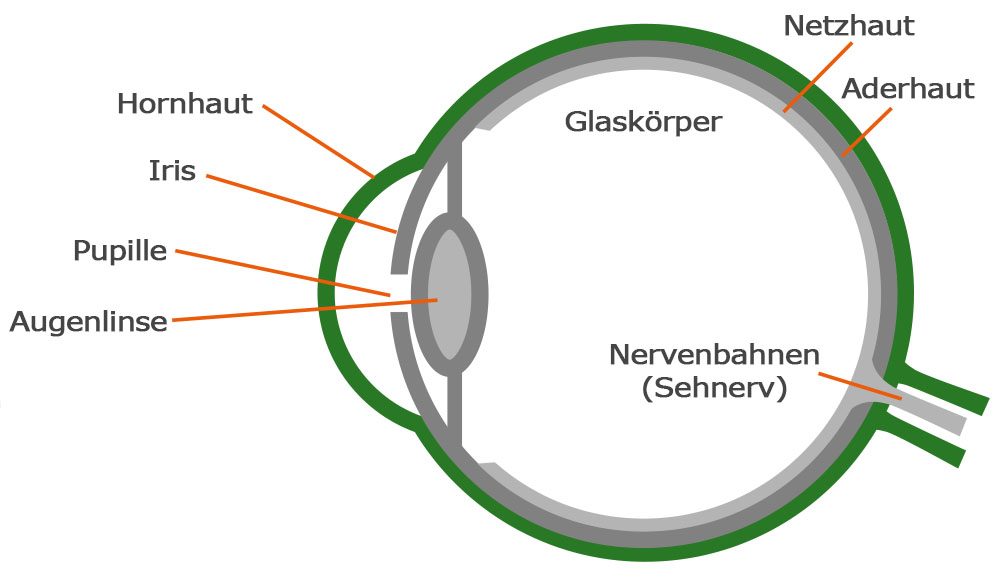 Groß Detailliertes Auge Anatomie Ideen - Menschliche Anatomie Bilder ...